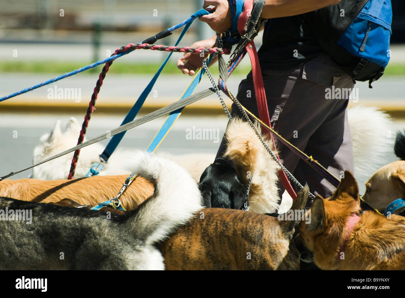Person walking several dogs, cropped view - Stock Image