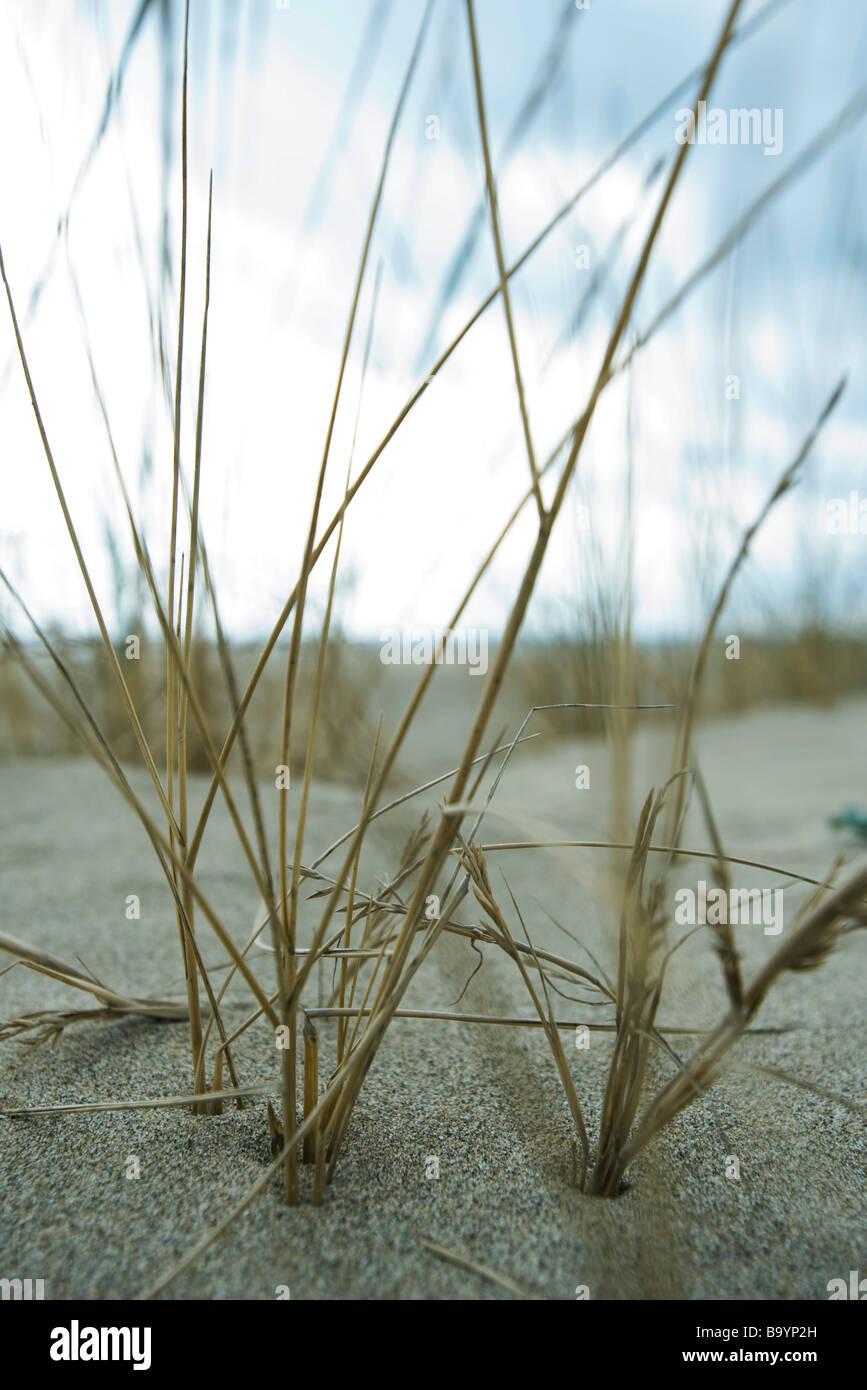 Dune grass, close-up - Stock Image