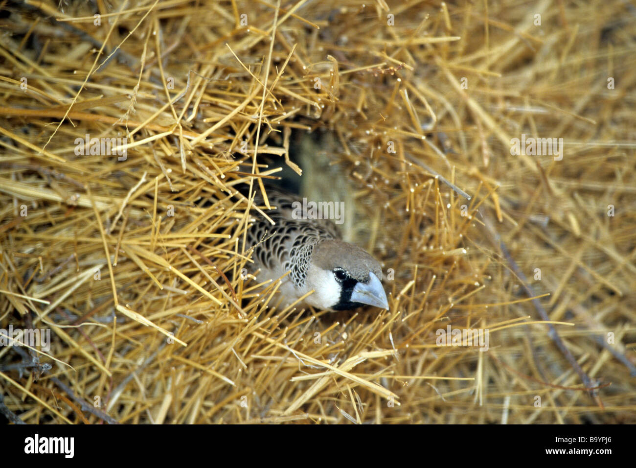 Sociable Weaver (Philetairus socius) at nest - Stock Image