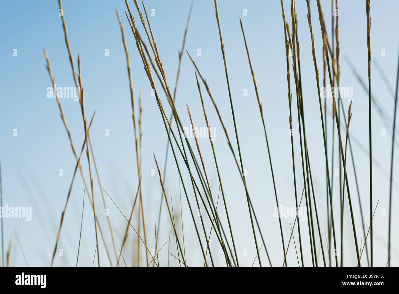 Tall grass, close-up - Stock Image