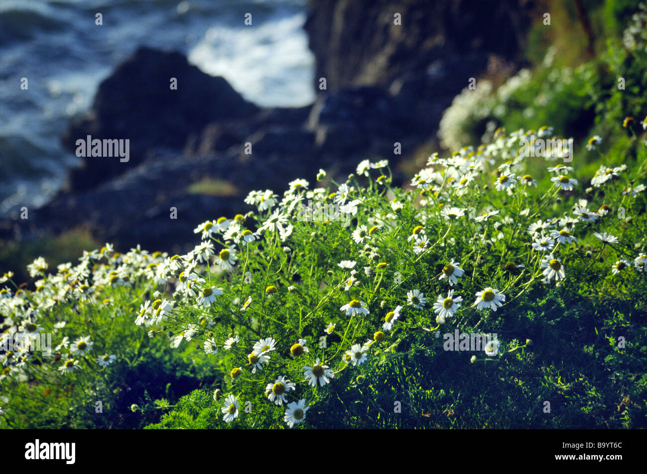 Chamomile Daisies on the clifftop at Cwm Tydi Cardigan Heritage Coast West Wales on a summer evening - Stock Image