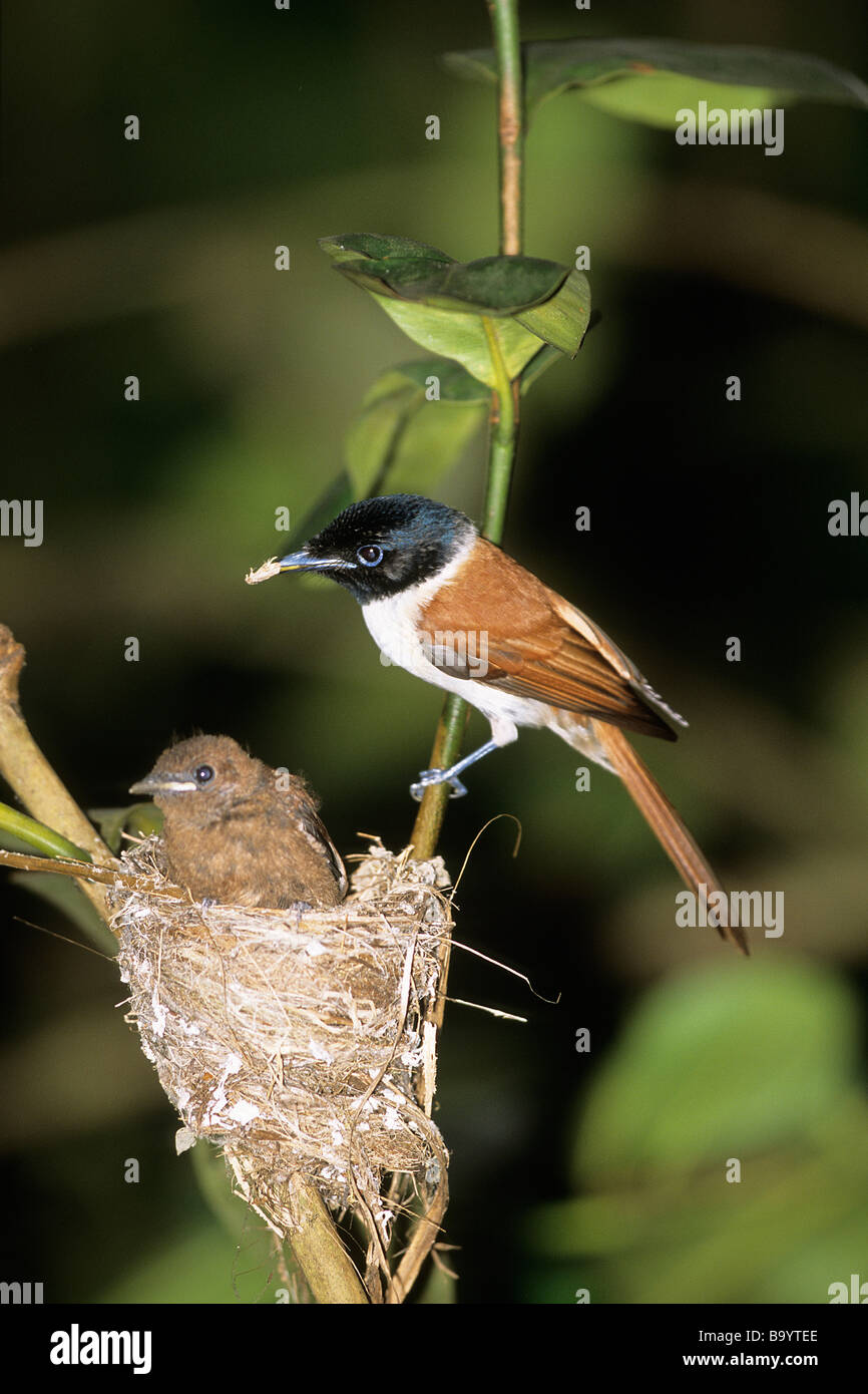 Seychelles Paradise Flycatcher (Terpsiphone corvina), female with chick at nest Stock Photo