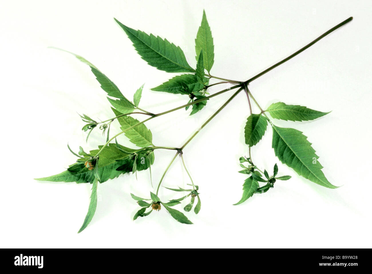 Three-lobe Beggarticks (Bidens tripartita), flowering twig, studio picture. - Stock Image