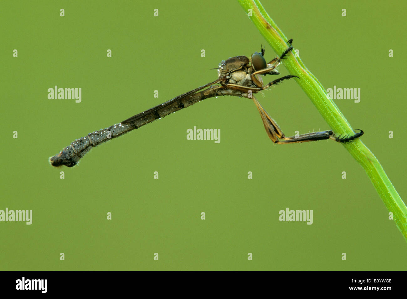 Robber Fly (Asilidae), adult clinging to a stem - Stock Image