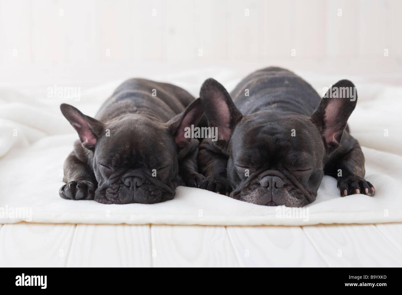 Two french bulldog sleeping on a blanket - Stock Image