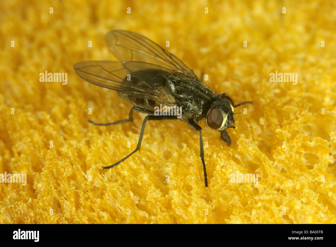 House Fly (Musca domestica) on bread - Stock Image
