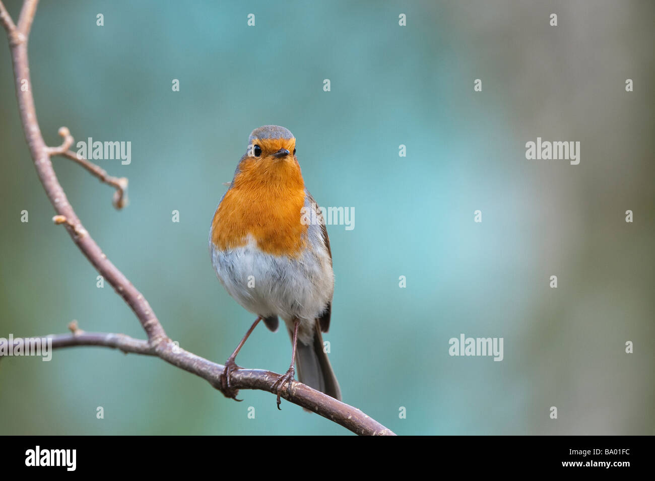 Robin perched on a branch against a blue green background - Stock Image