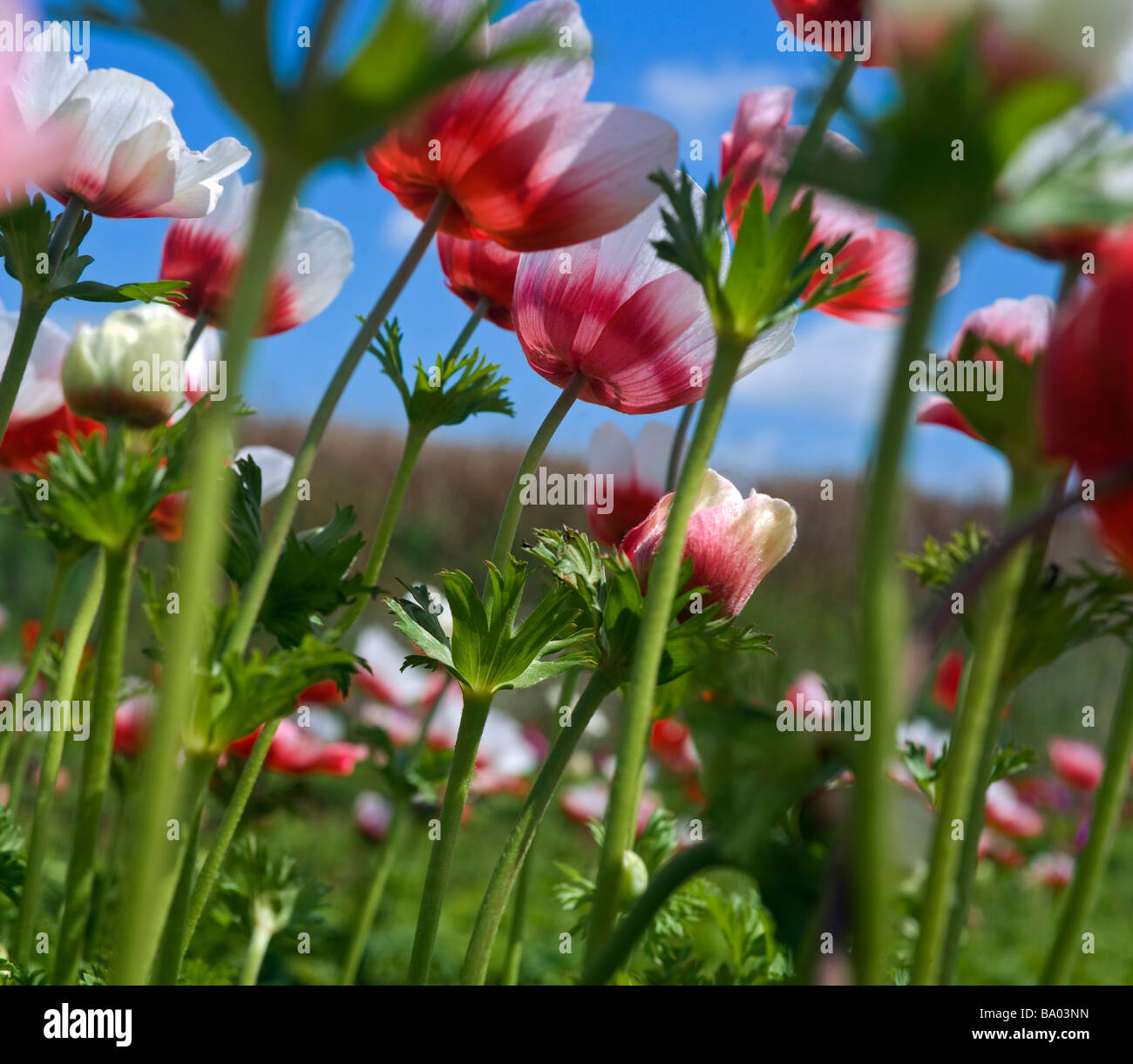 white and red Poppy Anemone in the field from below - Stock Image