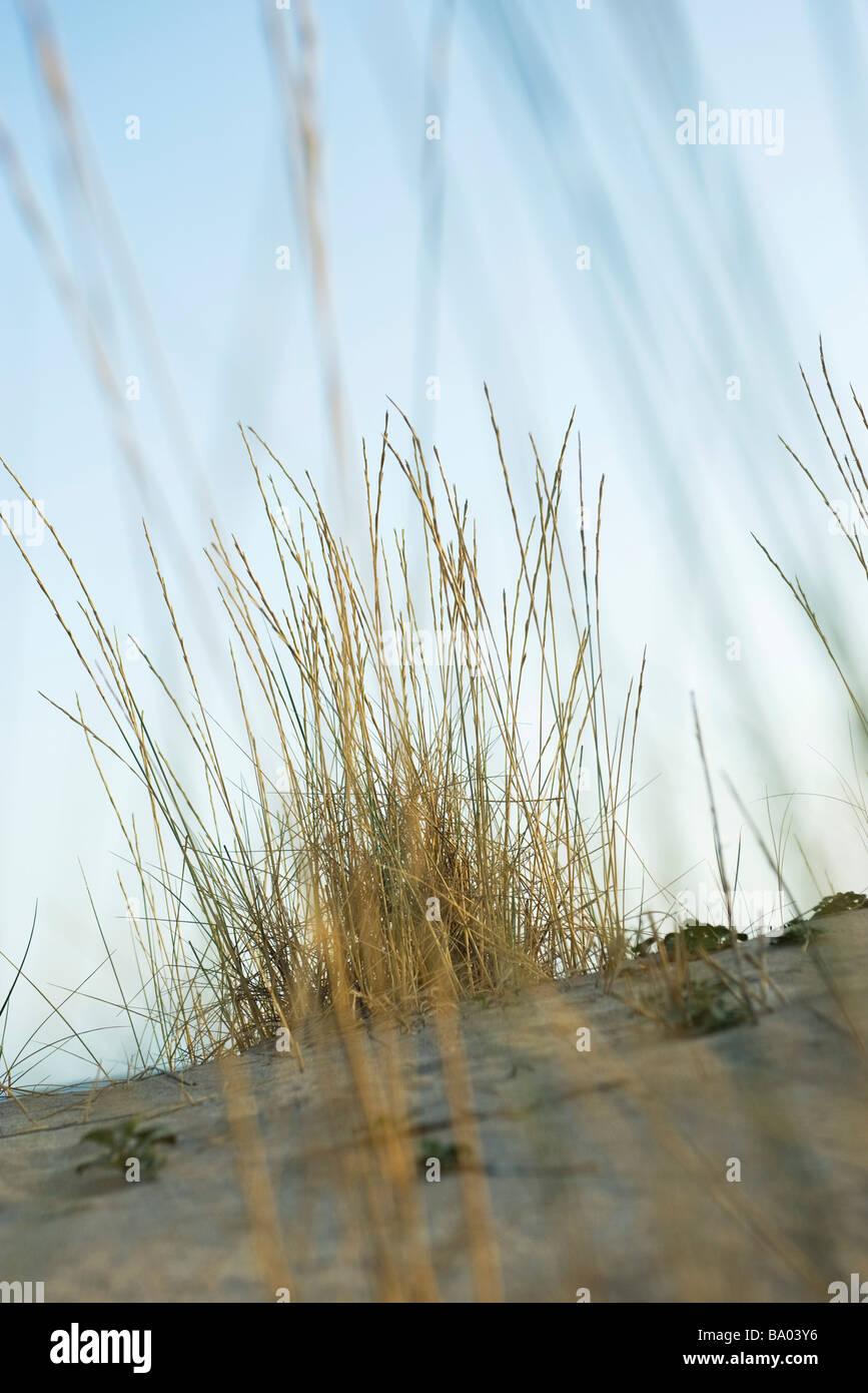 Dune grass - Stock Image