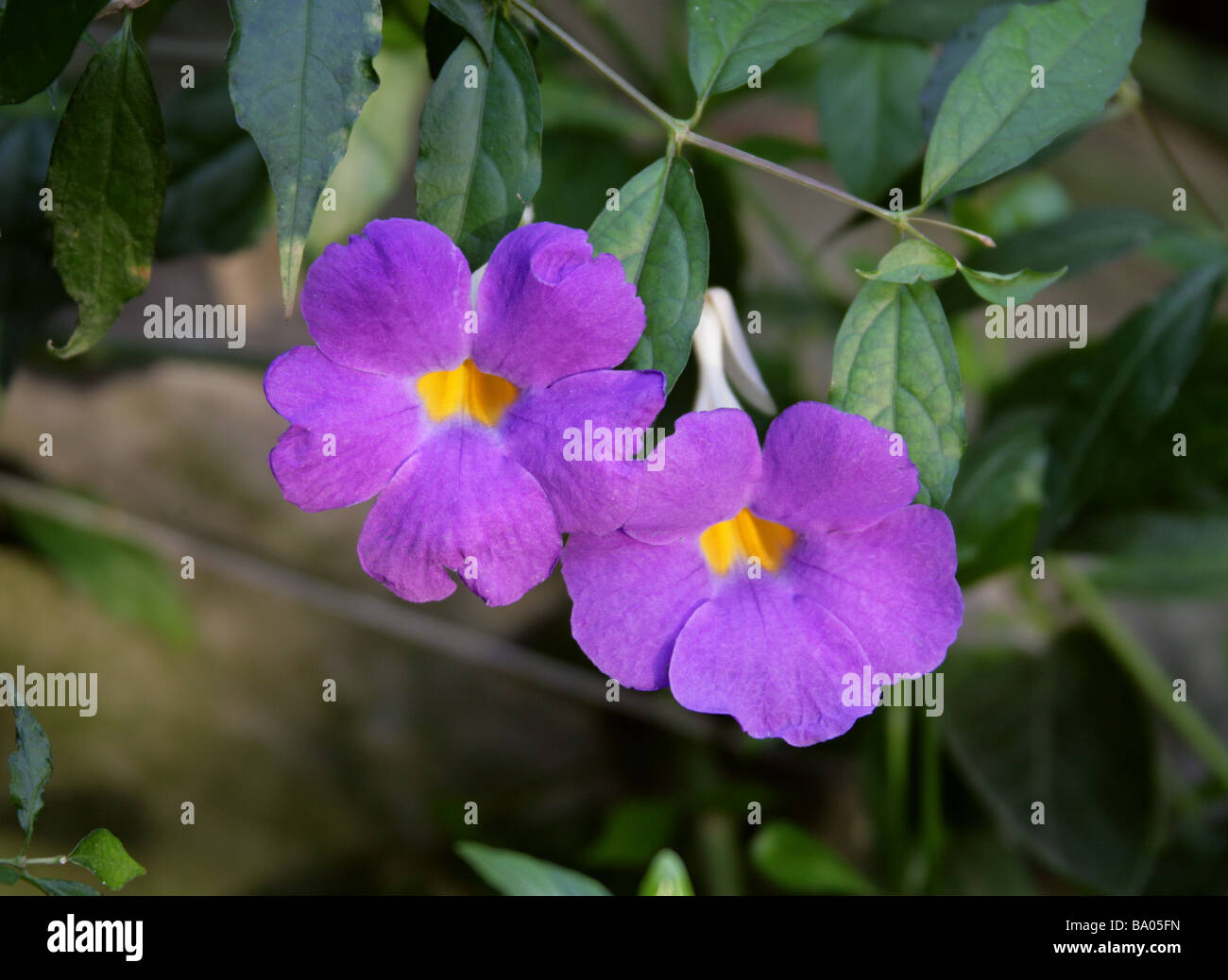 King's Mantle, Thunbergia erecta, Acanthaceae, Tropical West Africa - Stock Image