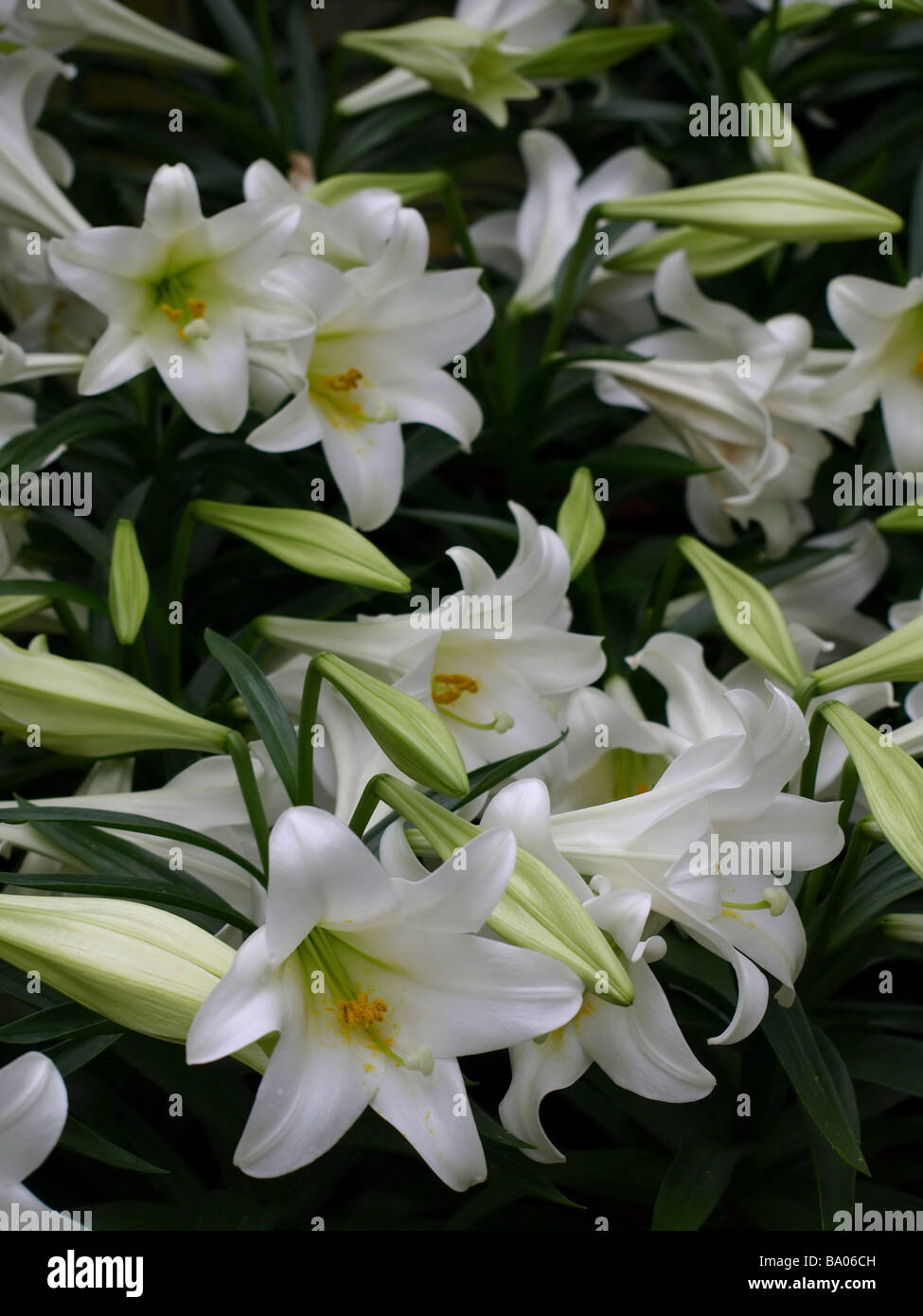 White Lily Stock Photos Amp White Lily Stock Images Alamy