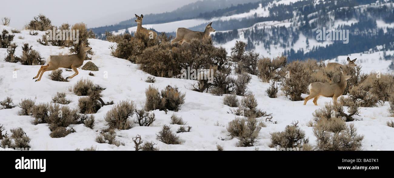 Panorama of watchful Mule Deer jumping through sagebrush in early morning at Jardine Road Gardiner Montana in winter - Stock Image