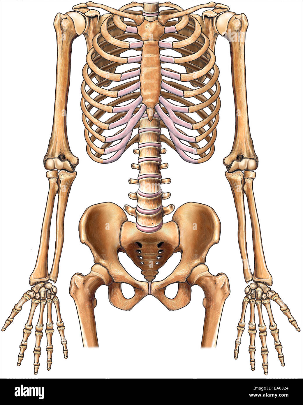 This stock medical image features the normal anterior skeletal Stock ...