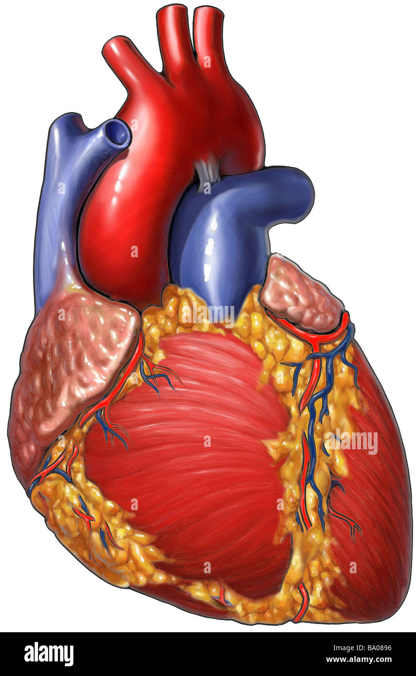 This medical illustration depicts the heart offering a clear view of the cardiac muscle and course of the coronary - Stock Image