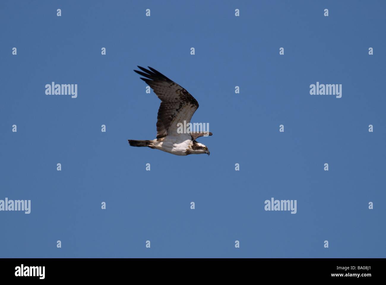 Osprey Pandion haliaetus in flight - Stock Image