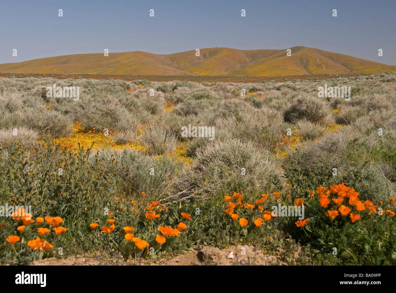 Antelope Valley California Poppy Reserve - Stock Image
