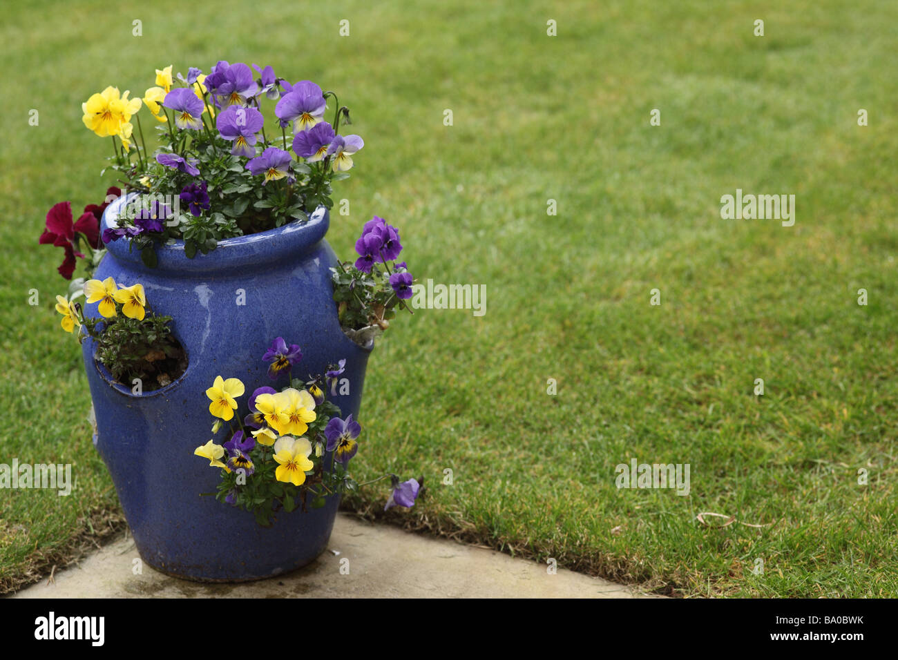 Close up of a blue strawberry pot planted with viola on the edge of a garden lawn in England - Stock Image