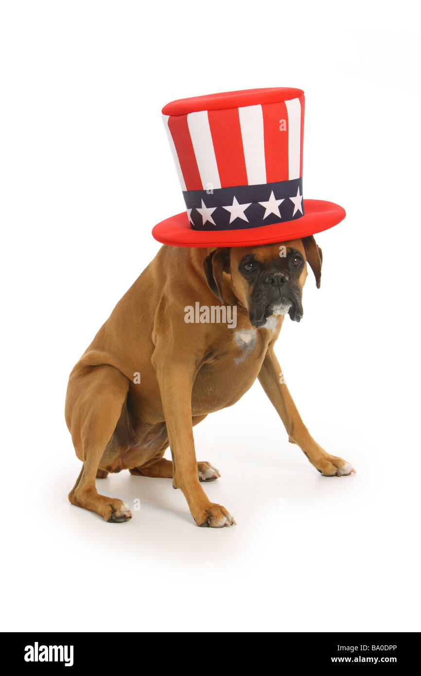 Boxer dog with uncle sam hat on white background - Stock Image