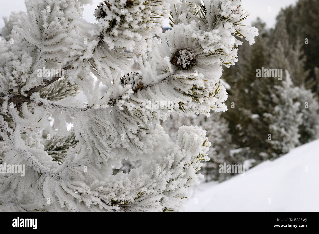 Close up of hoarfrost and snow covered pine tree with cones on Signal Mountain Grand Teton National Park Wyoming - Stock Image