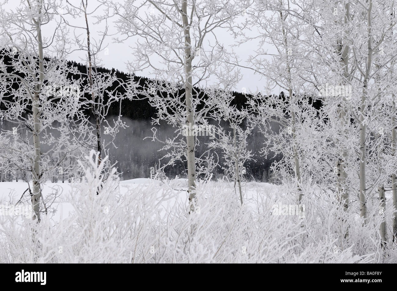 Trees and bushes covered in hoarfrost at Oxbow Bend on the Snake River against dark Signal Mountain in Grand Teton - Stock Image