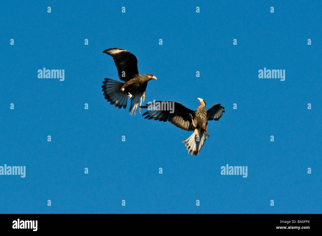 Figthing over a dead carcasse , Southern Crested Caracara, Llanquihue Lake, Chile - Stock Image