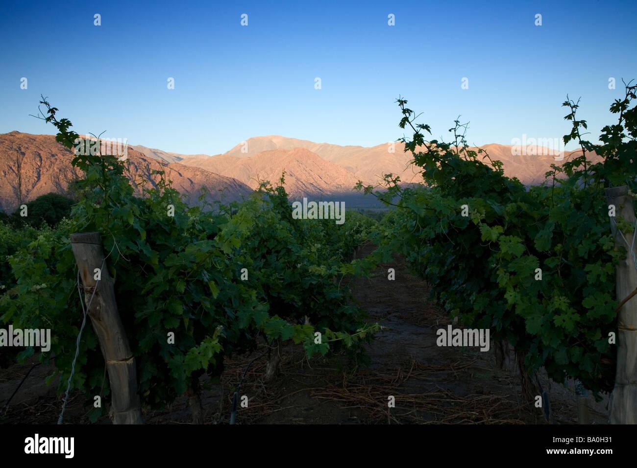 Alpen glow above vineyards, Cafayate, Argentina - Stock Image