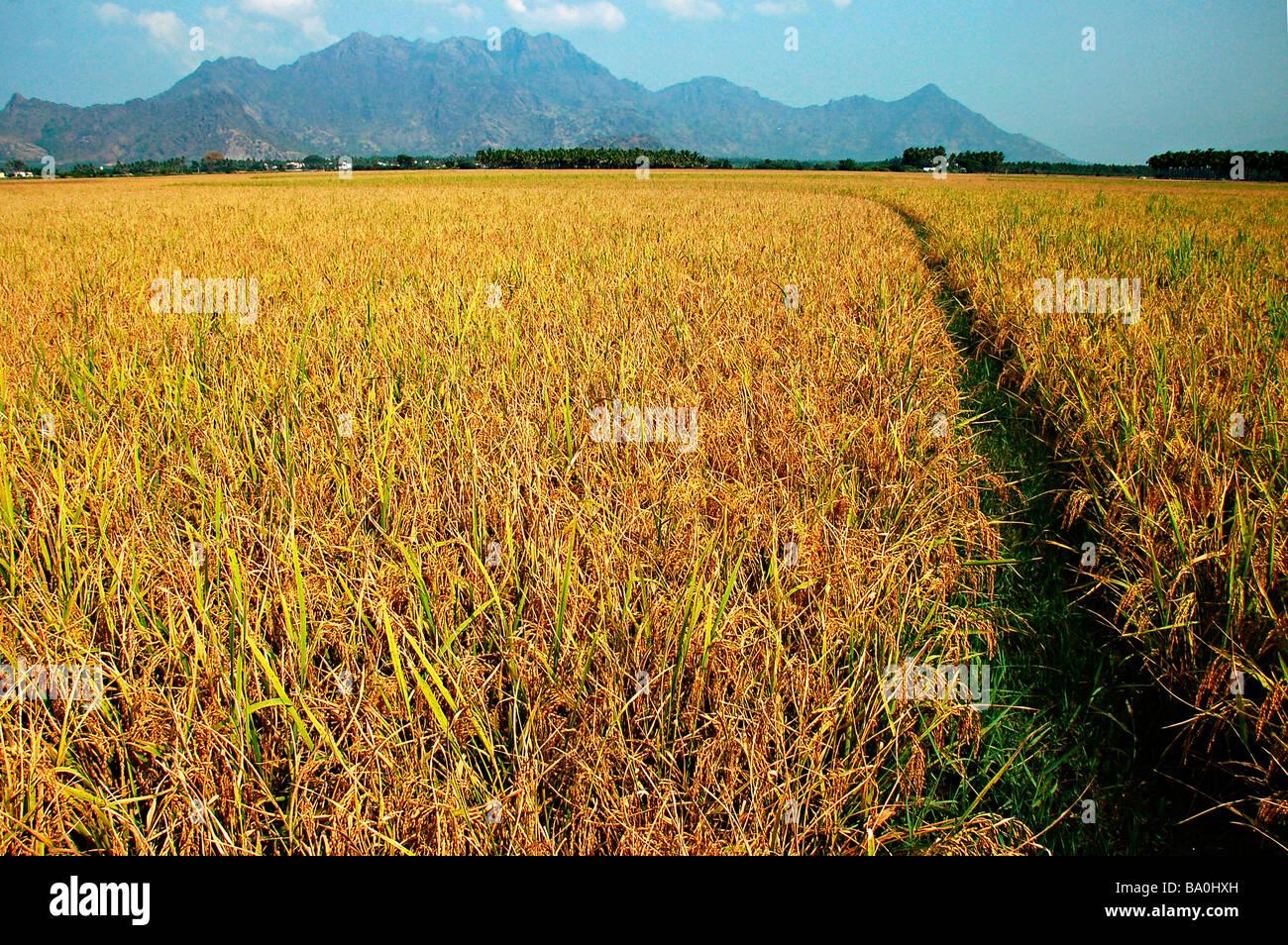 A rice Field at Kannyakumari District, Tamil Nadu - Stock Image