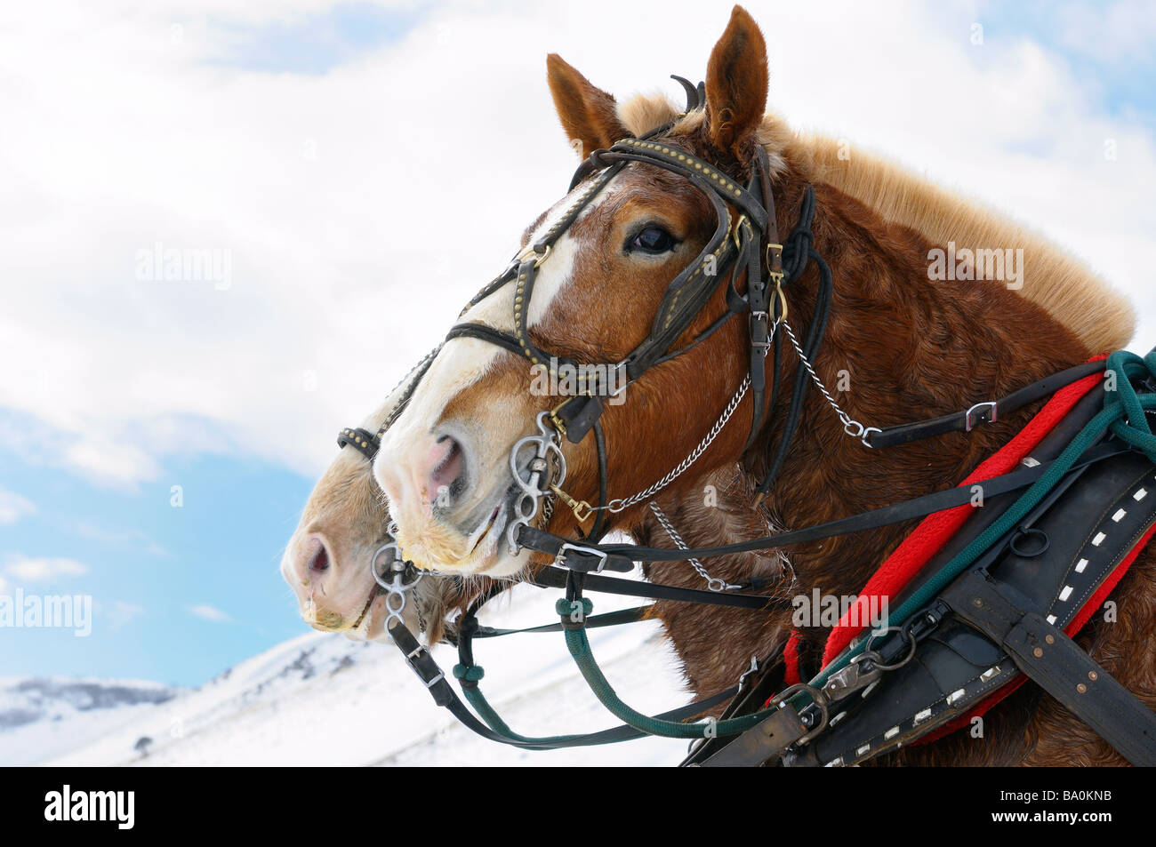 Draft horses after a sleigh ride through the National Elk Refuge in Jackson Hole Wyoming - Stock Image