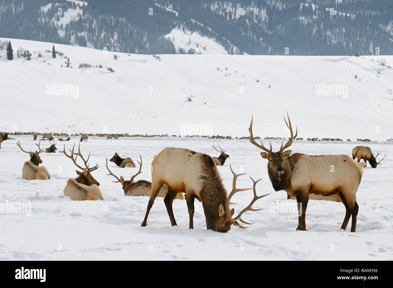 Sleigh ride to Herd of Elk wintering at the National Elk Refuge in Wyoming with Millers Butte and Table mountain - Stock Image