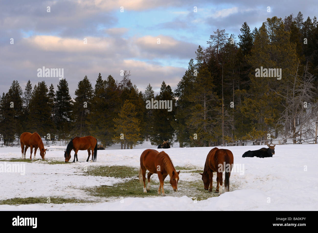 Group of quarter horses and Moose in a field at Triangle X Ranch Grand Teton National Park Wyoming - Stock Image
