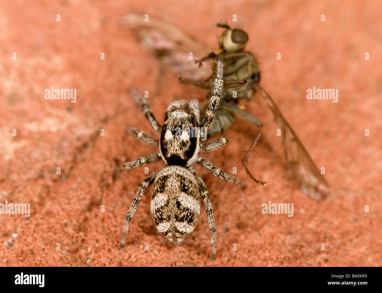 Zebra jumping spider Salticus scenicus with prey - Stock Image