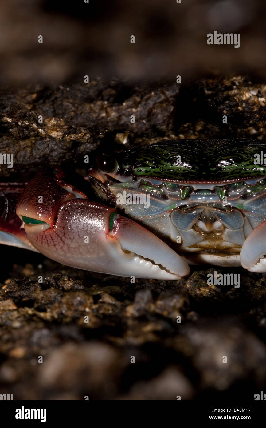 Small crab hiding between two rocks in the Point Lobos State Reserve, California, USA - Stock Image