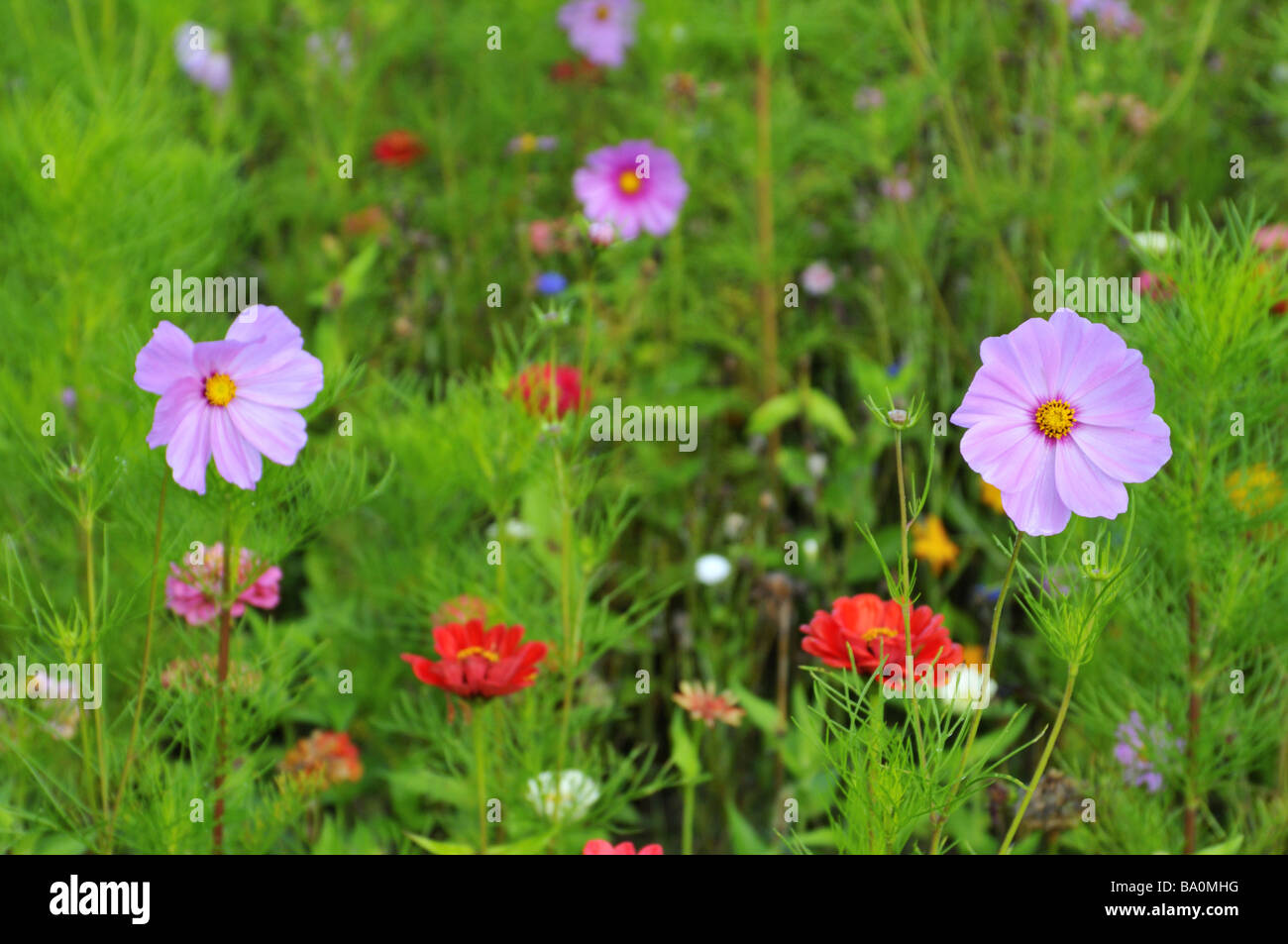 Cosmos bipinnatus in a cottage garden. - Stock Image