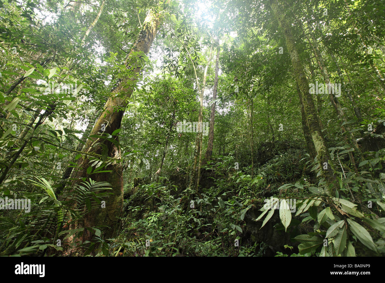 Thick vegetation covers the floor deep inside the jungle on the island of Borneo - Stock Image