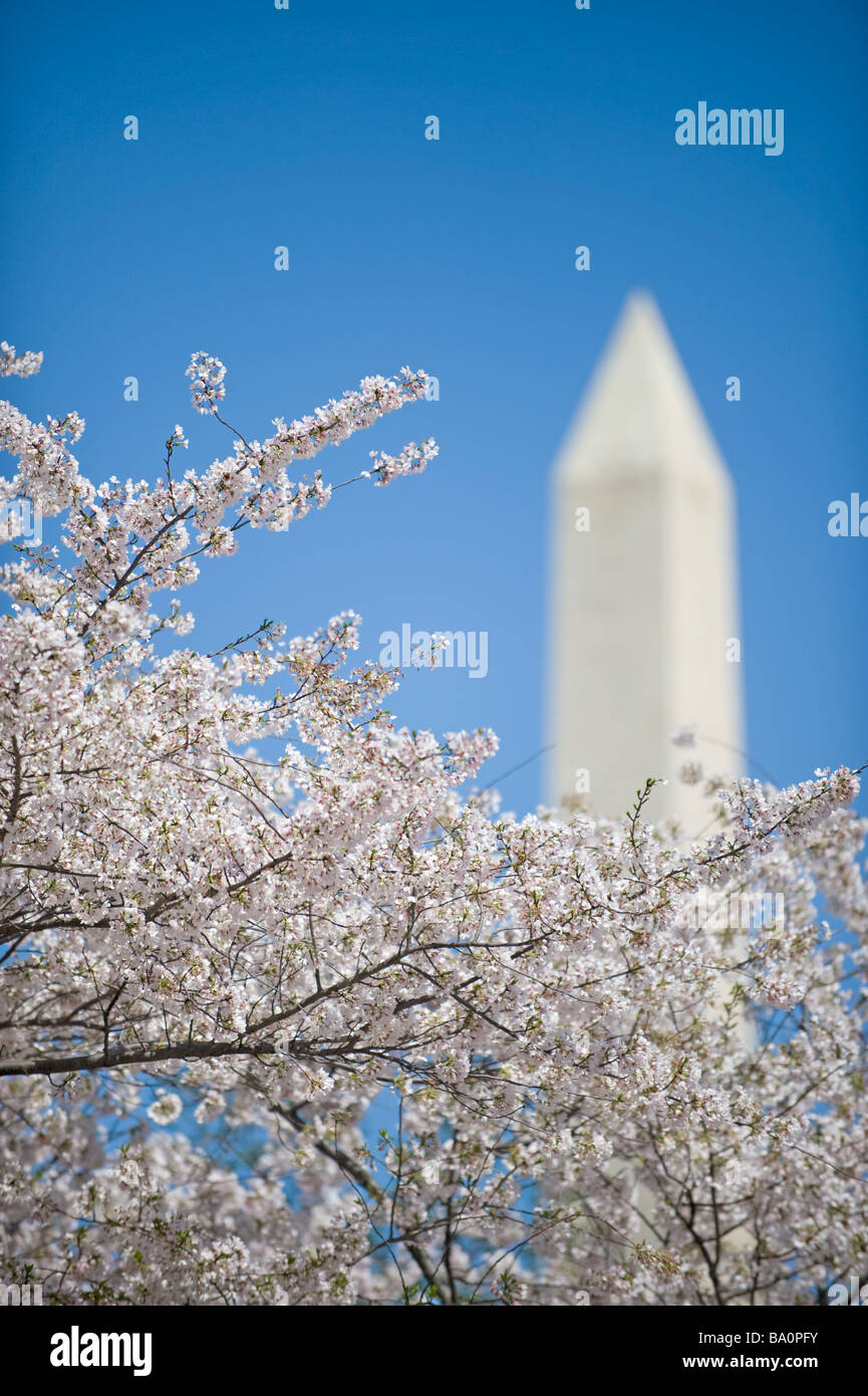 Washington Monument with cherry blossoms - Stock Image