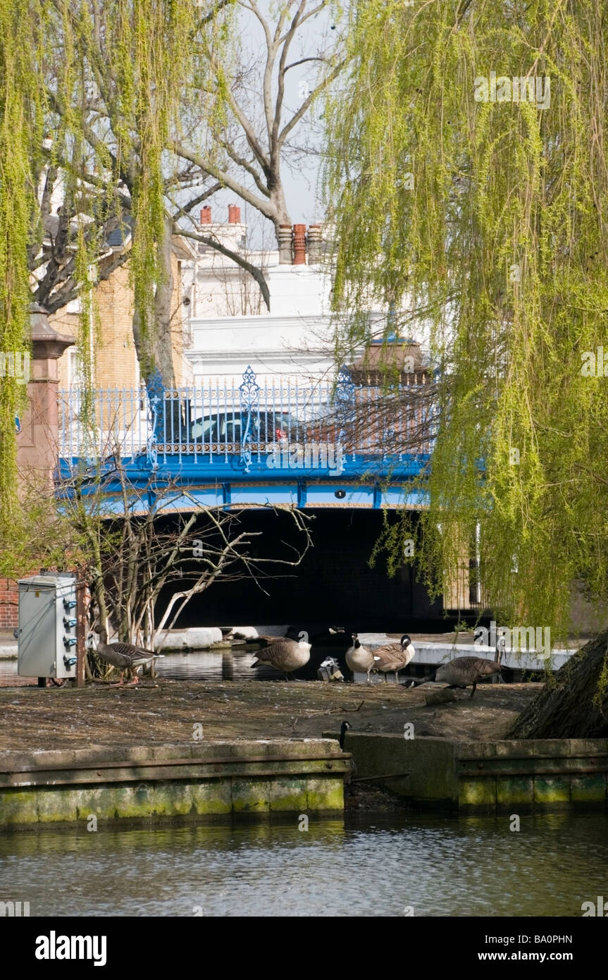 Little Venice, Grand Union Canal and Regent Canal blue bridge, ducks island under Weeping willow tree, spring, London, - Stock Image