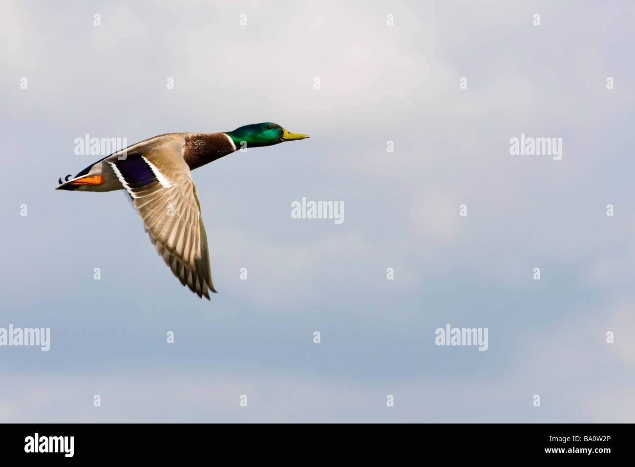 Flying male mallard duck against a blue sky, England, UK - Stock Image
