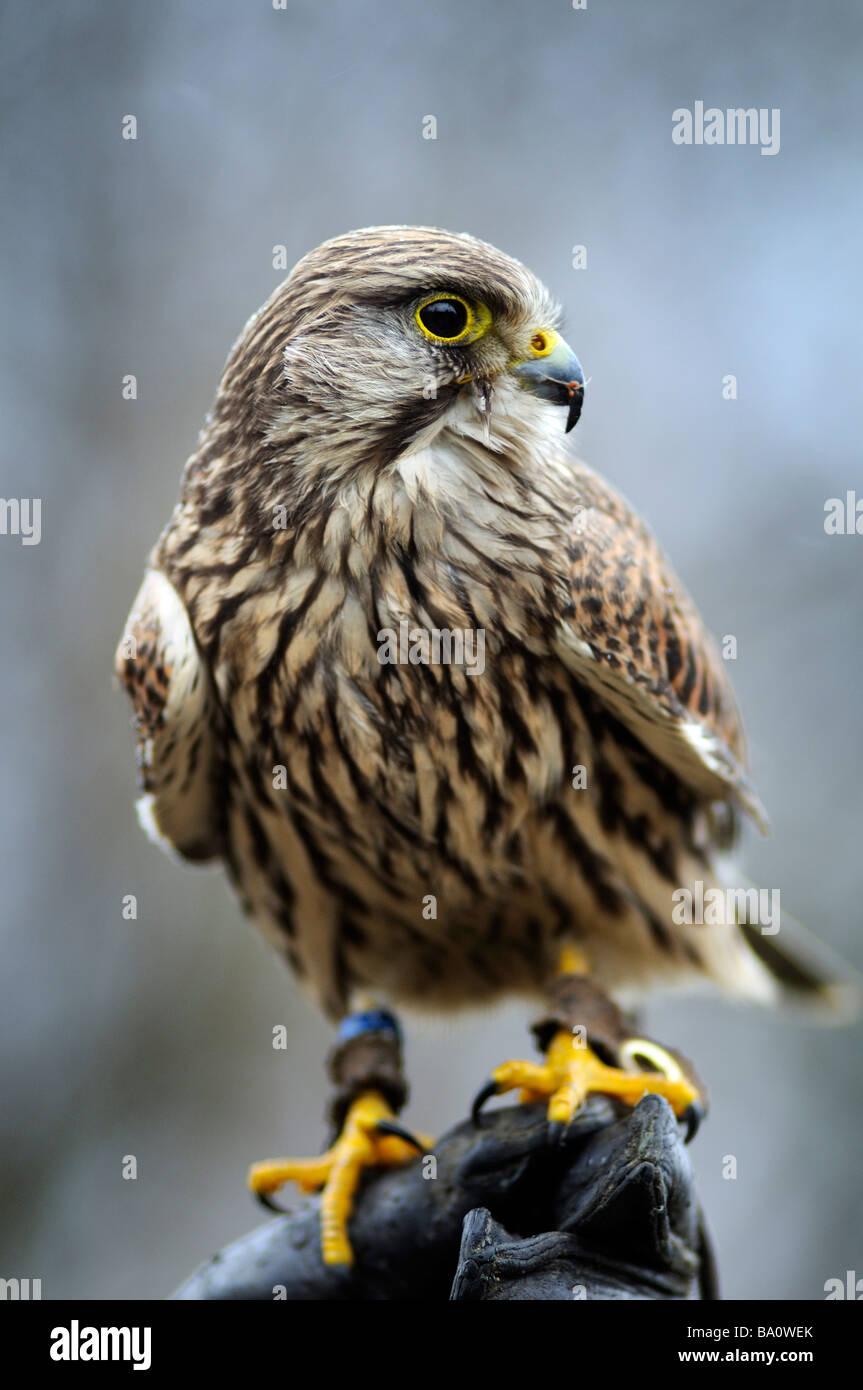 Close up portrait of a captive Kestrel (Falco tinnunculus) sitting on falconer's glove - Stock Image