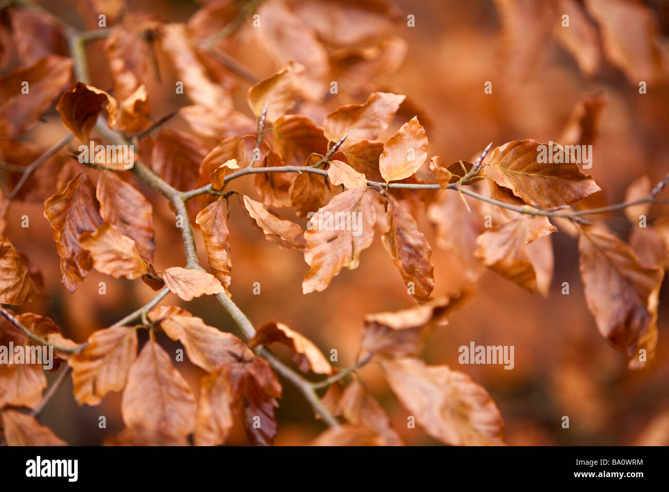 Golden autumn leaves on a branch in the fall - Stock Image