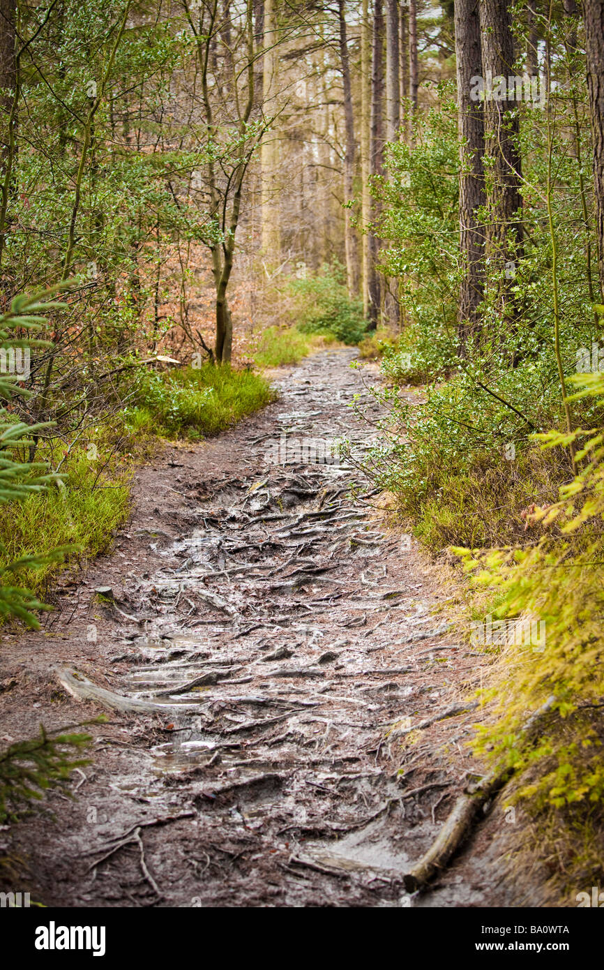 Coniferous forest path, pathway trail through woodland, UK - Stock Image