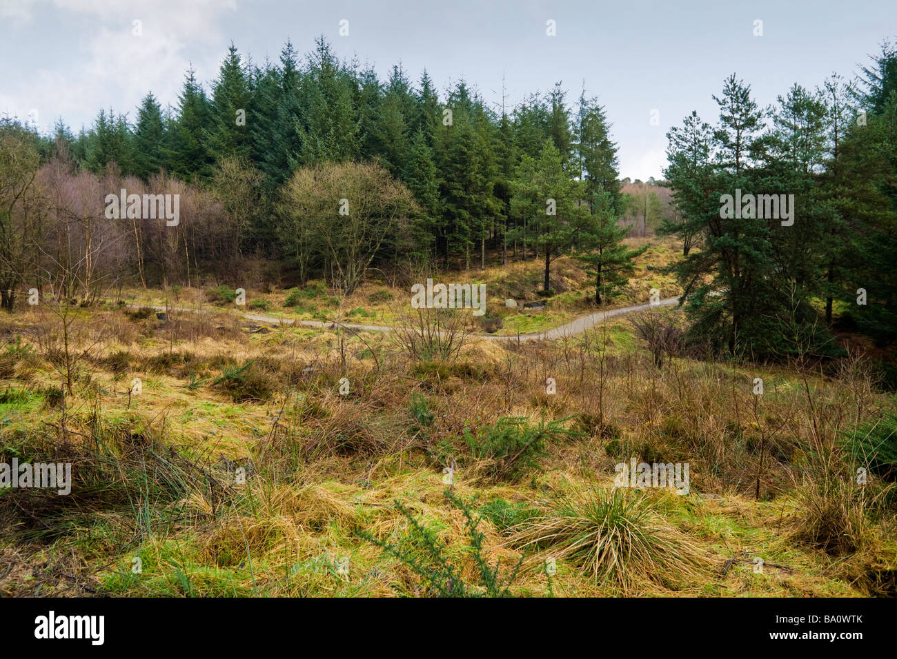 Cropton coniferous forest clearing in winter UK - Stock Image