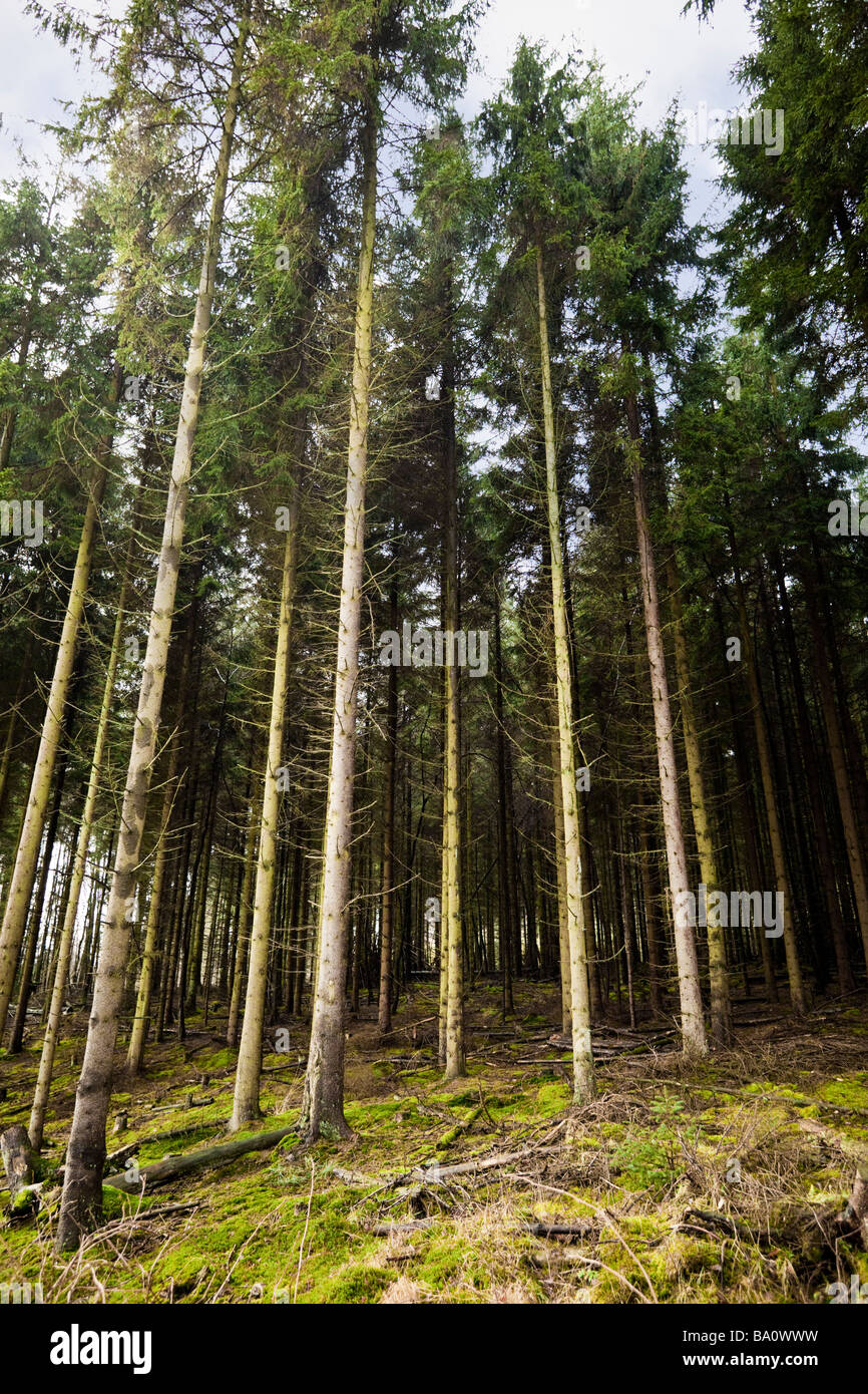 Dense managed forest of Scots Pine trees UK - Stock Image