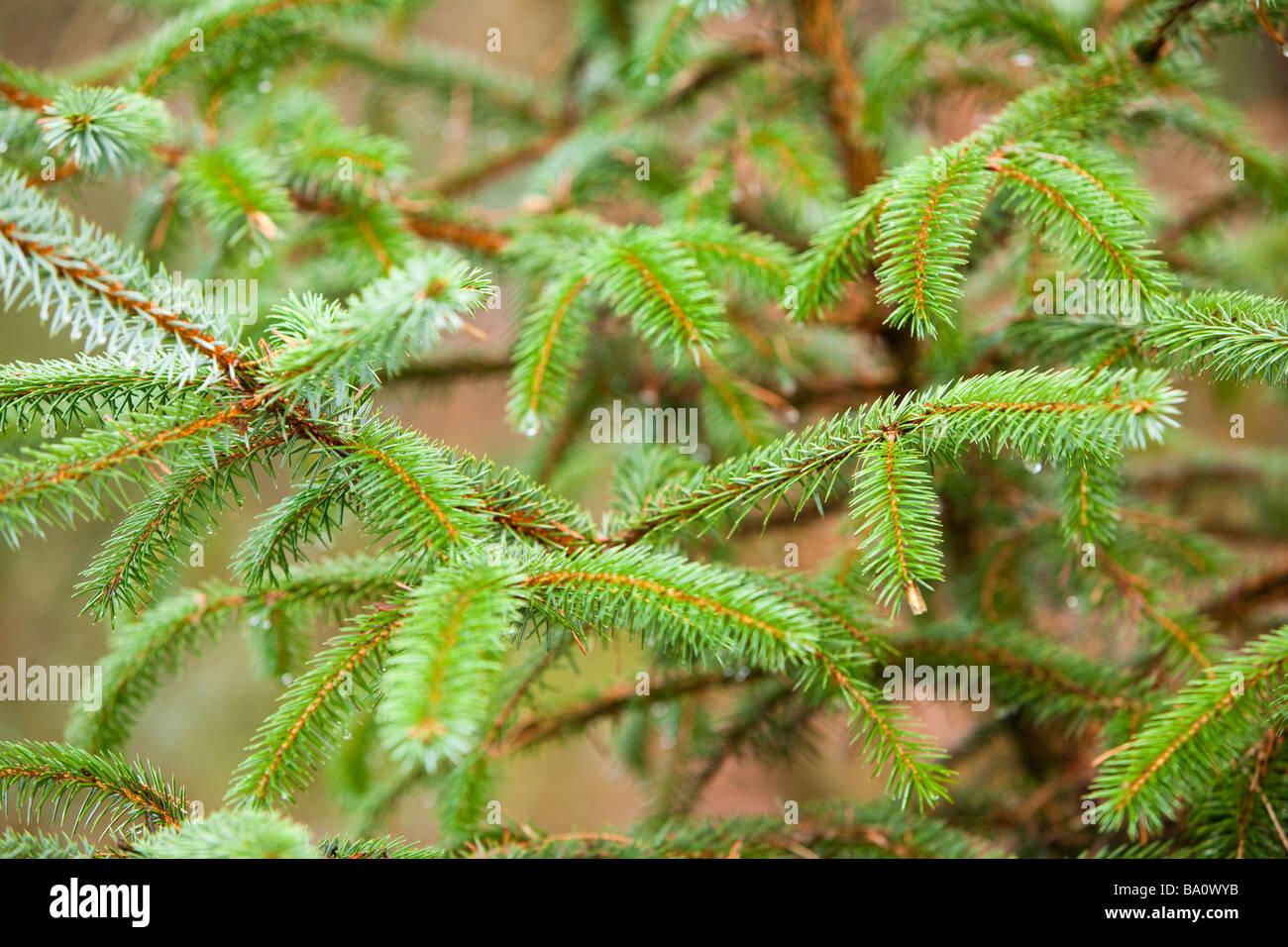 Close up of Douglas Fir pine tree and pine needles UK - Stock Image