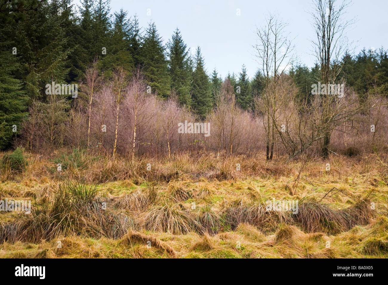 Cropton coniferous forest in winter UK - Stock Image