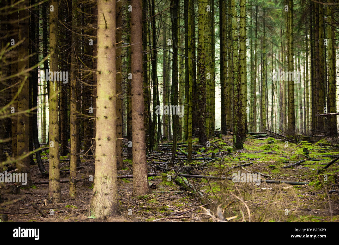Dense forest of Scots Pine trees UK - Stock Image