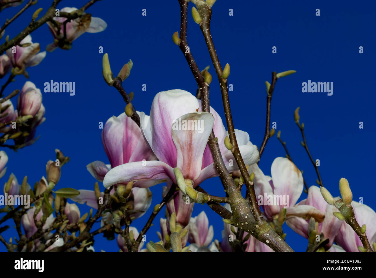 Magnolia Tree In Bloom Flowering Magnolia Blue Sky Clouding Over