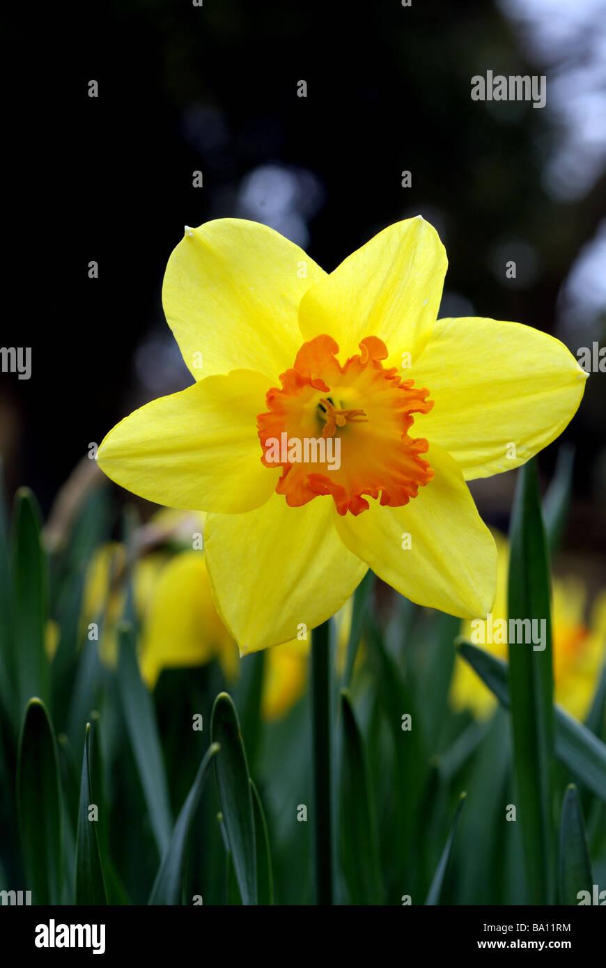 Daffodil flower Stock Photo