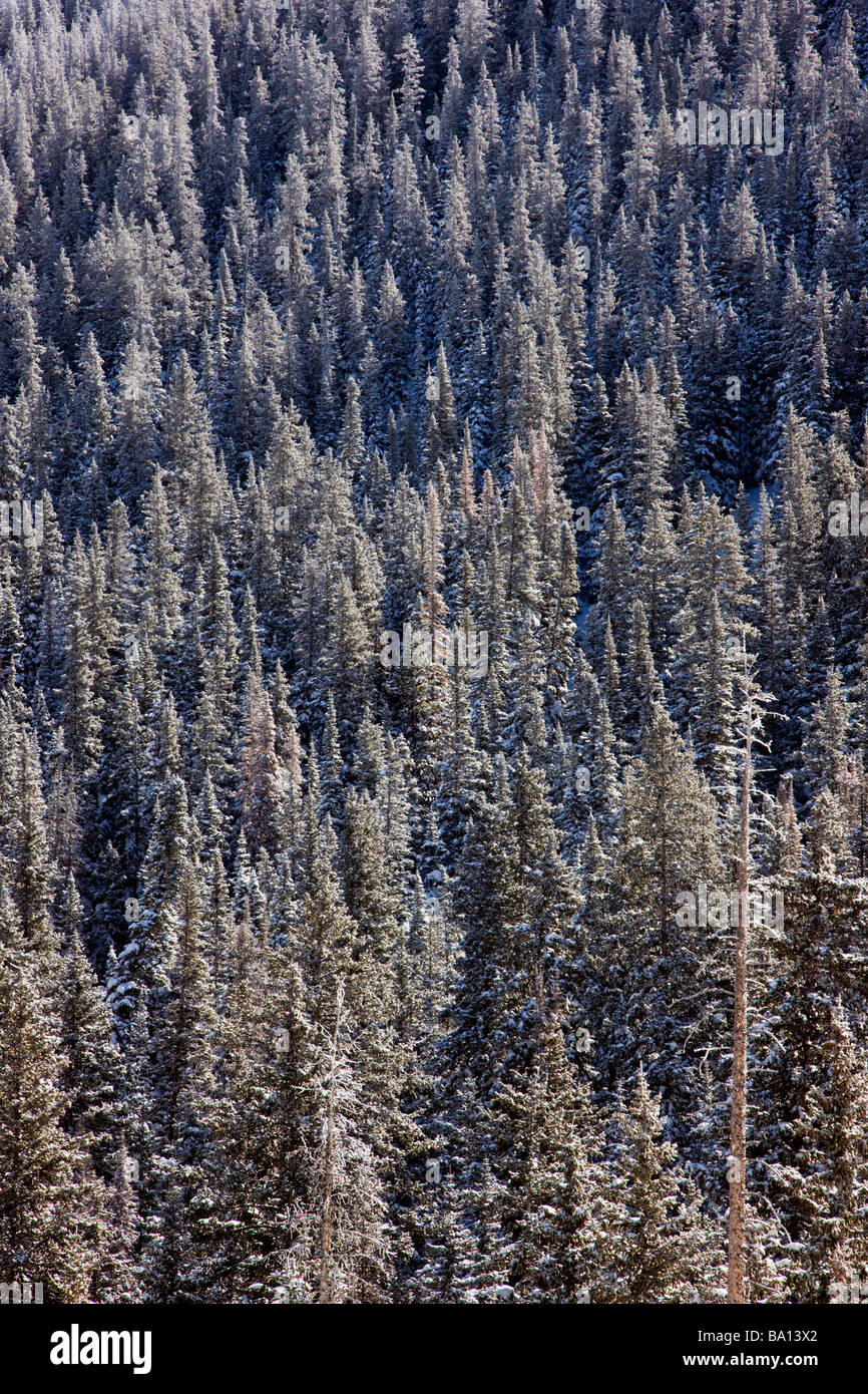 Evergreen trees in the Rocky Mountains after a snow storm near Monarch Pass Chaffee County Colorado USA - Stock Image