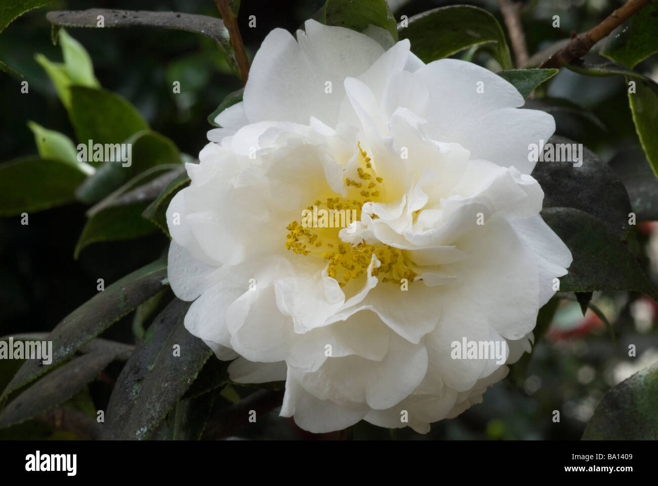 Close up of a white camellia flower stock photo 23382025 alamy close up of a white camellia flower mightylinksfo