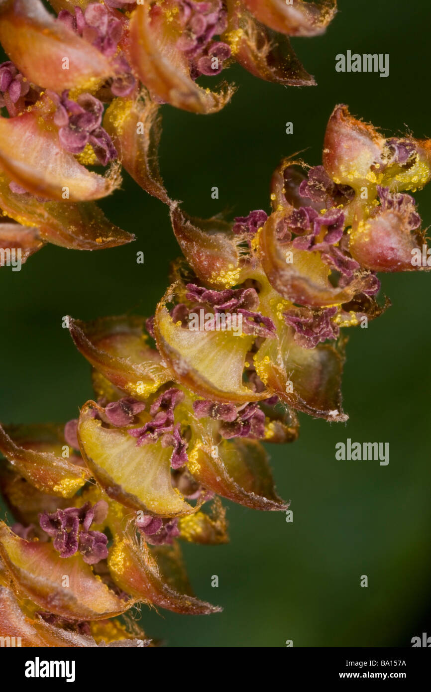 Close up of male catkins of Bog Myrtle or Sweet gale Myrica gale in early spring Wet heathland in Dorset - Stock Image